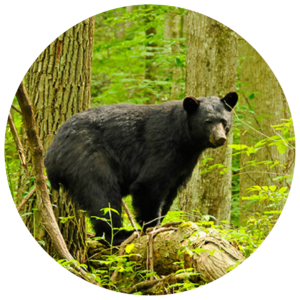 black-bear-in-woods-circle-crop