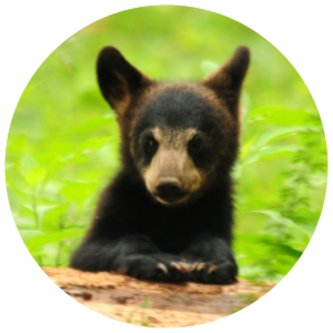 black-bear-cub-circle-crop